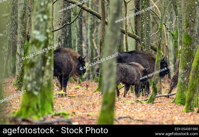 Free ranging european bison among hornbeams in wintertime forest, Bialowieza Forest, Poland, Europe