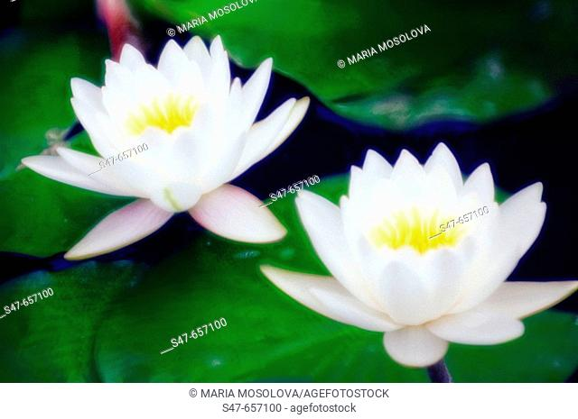 Two White Waterlilies. Nymphaea hybrid. September 2006. Maryland, USA