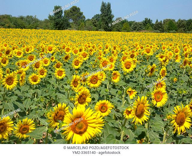 Sunflowers in the fields during summer , nature and agriculture at isle sur la surge Provence , France