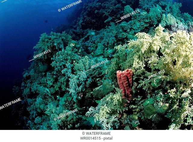 Coral Reef with Soft Corals, Red Sea, Sudan