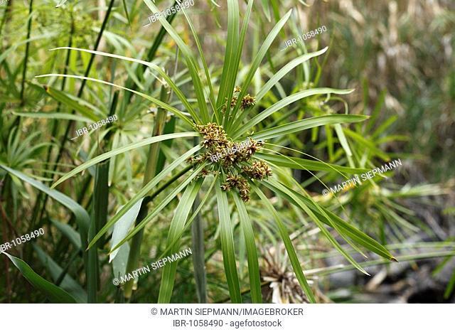 Umbrella papyrus or umbrella palm (Cyperus papyrus), La Gomera, Canary Islands, Spain, Europe
