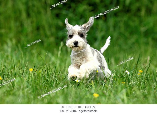 Miniature Schnauzer. Puppy (6 weeks old) running on a meadow. Germany