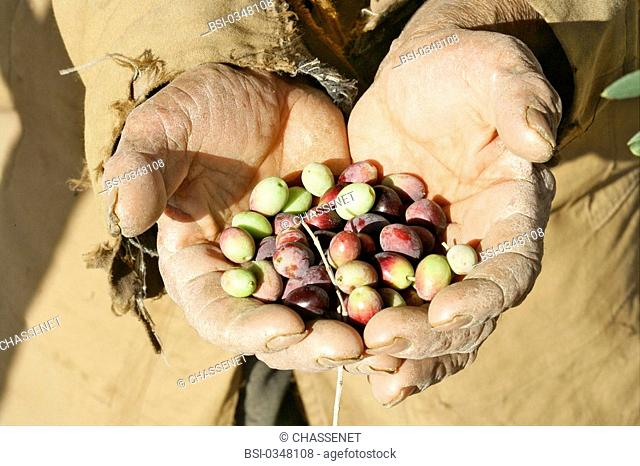 Photo essay. Olive growing in Tunisia. The olives are harvested by hand
