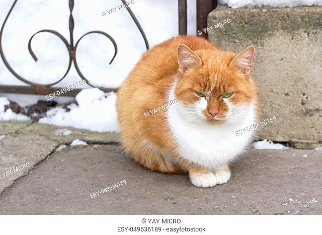 Close up of small red furry cat sits in cold winter snowed yard
