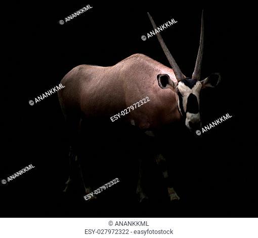 gemsbok or oryx gazella in dark background
