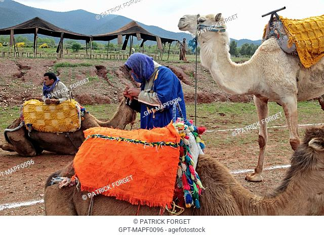 BERBER CAMEL DRIVER READYING HIS CAMELS FOR A TOURIST EXCURSION, TERRES D'AMANAR NATURE PARK AND ADVENTURE, TAHANAOUTE, AL HAOUZ, MOROCCO