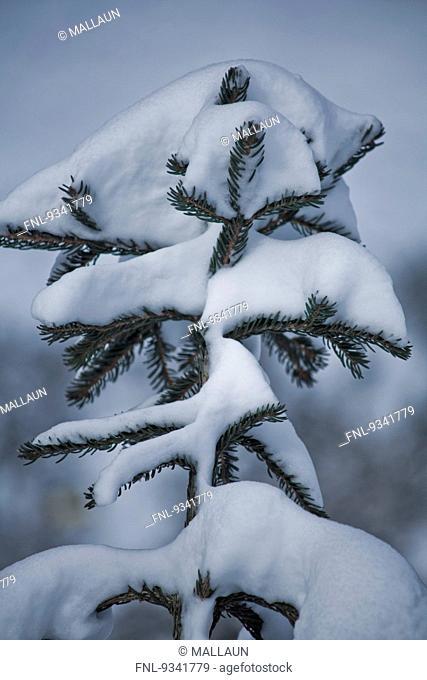 Twig of a spruce with snow, Tyrol, Austria, Europe