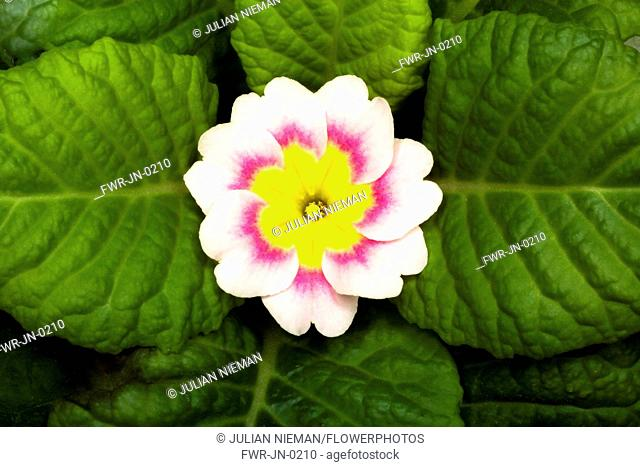 Primrose, Primula 'Delia mix', Overhead graphic view of one cream flower with a pink ring and yellow middle, positioned in the centre surrounded by a neat...