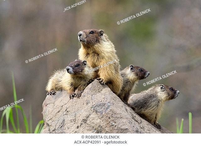 Yellow-bellied marmot Marmota flaviventris, adult female and pups, near Tunkwa Provincial Park, British Columbia, Canada