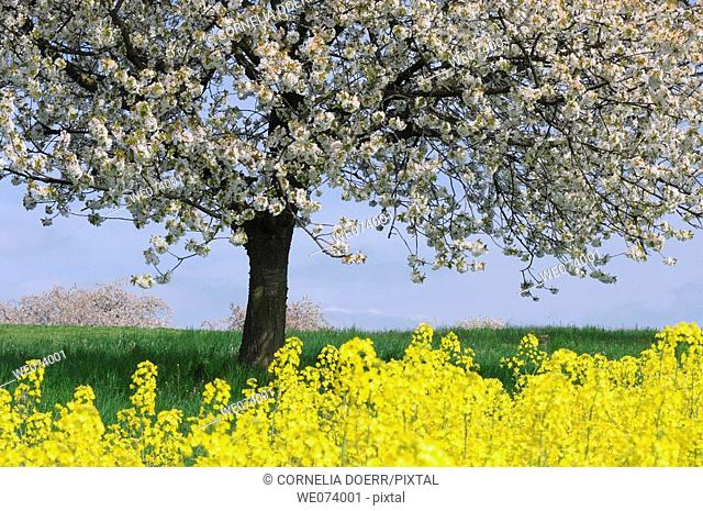 Blossoming Cherry Tree and rape field, Gera, Thueringen, Germany