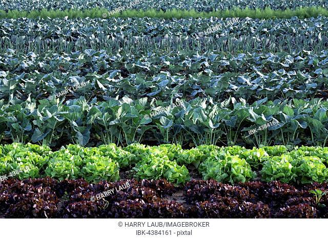 Vegetable field, lettuce, kohlrabi, cabbage, leeks, fennel, Baden-Württemberg, Germany
