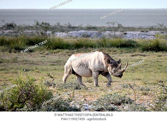 Black rhinoceros in the savannah landscape of the Etosha National Park, taken on 05.03.2019. The Black Rhinoceros (Diceros bicornis) is an open savannah and the...