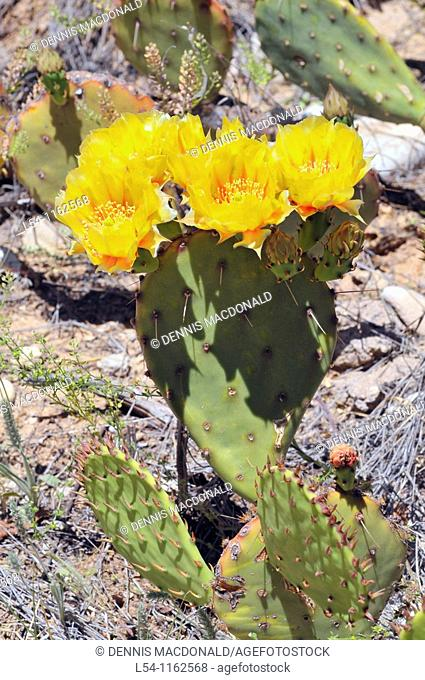 Yellow Flowering Cactus at Living Desert Zoo and Gardens Carlsbad New Mexico