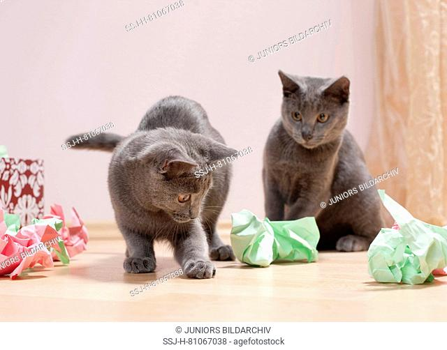 Chartreux cat. Pair of kittens playing with a box filled with paper, fine toy for cats. Germany