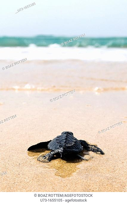 An hour old sea Turtle begins his life journey by walking into the ocean
