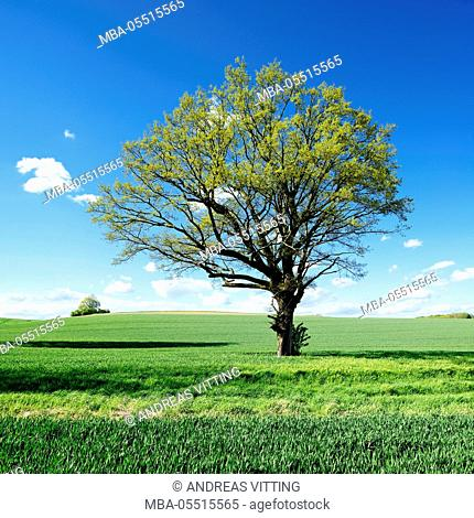 Single oak in grain field in spring, Burgenlandkreis, Saxony-Anhalt, Germany