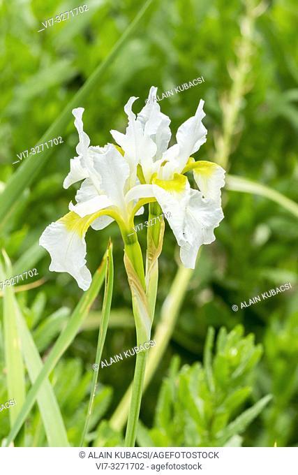 Iris sibirica 'Snowcrest' Breeeder : Gage 1932