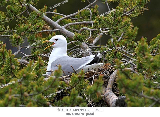 Common gull (Larus canus), calling, sitting in nest on dwarf pine, Lapland, Norway