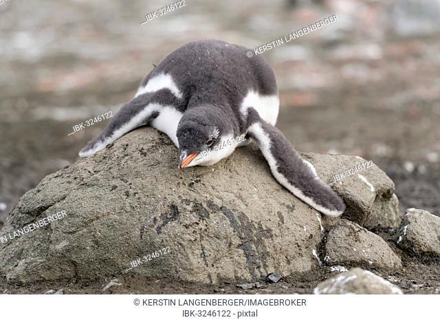 Gentoo Penguin (Pygoscelis papua) chick in downy feathers, asleep, cooling off, Barrientos Island, Aitcho Islands, Südliche Shetlandinseln, Antarctica