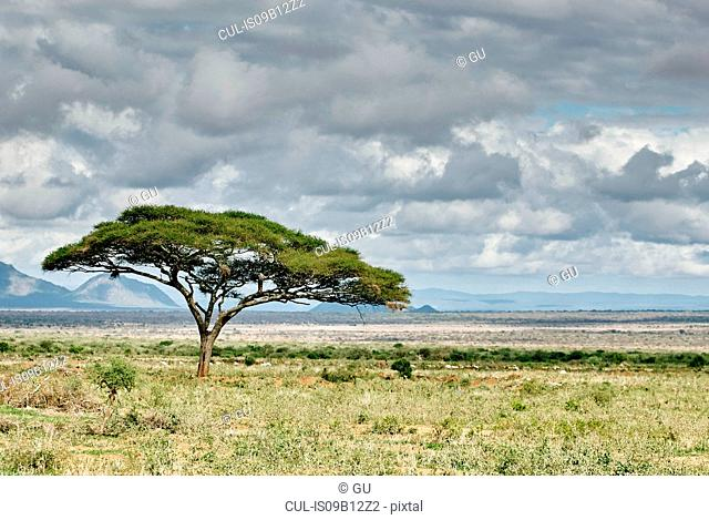 Lone tree on field, Tunisia