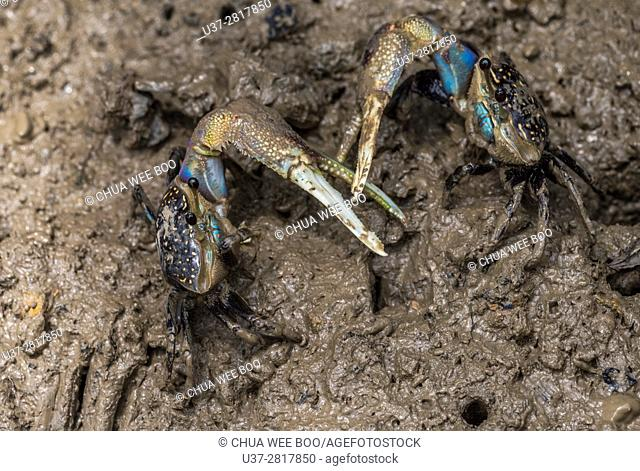 Blue Mud Crab fighting, Sungai Apong, Kuching, Sarawak, Malaysia