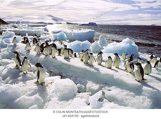 Adelie Penguins (Pygoscelis adeliae). Paulet Islands. Weddell Sea. Antarctica