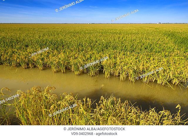 Rice fields in the Guadalquivir river delta near Los Palacios y Villafranca, Sevilla province. Southern Andalusia, Spain. Europe