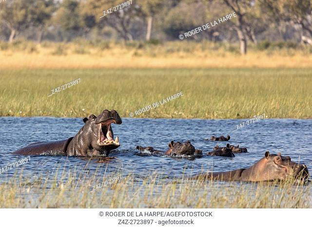 Common hippopotamus or hippo (Hippopotamus amphibius) showing aggression. Okavango Delta. Botswana