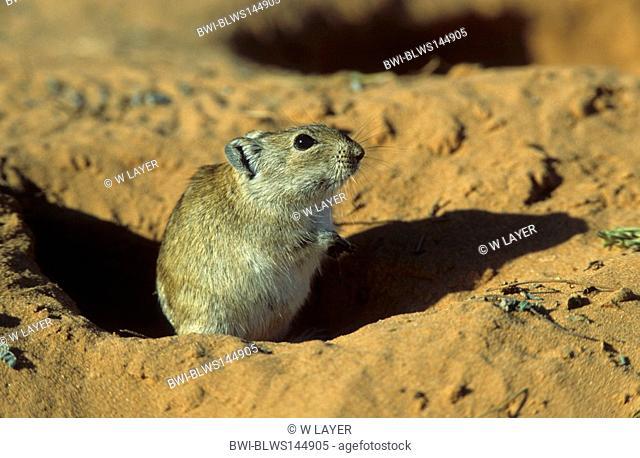 Brant's whistling rat Parotomys brantsii, at the den, South Africa, Kalahari
