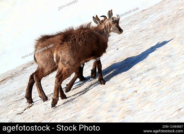 young chamois (Rupicapra rupicapra) playing in the snow , Vosges Mountains, France