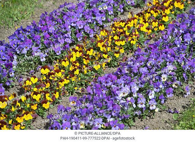 09 April 2019, Mecklenburg-Western Pomerania, Stralsund: Pansies bloom in a park in Stralsund. Photo: Stefan Sauer/dpa-Zentralbild/ZB