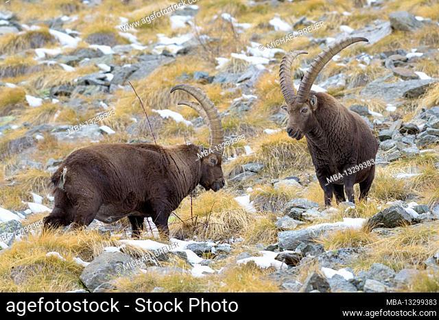 Ibex, Gran Paradiso National Park, Italy