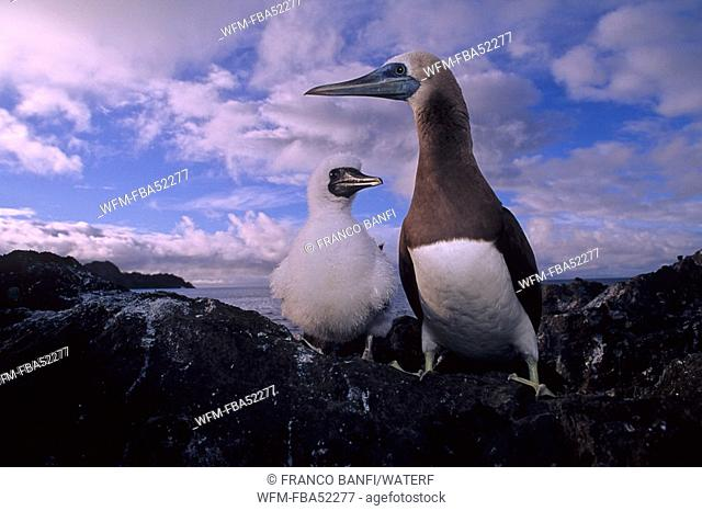 Brown Booby, Adult with Chick, Sula leucogaster, Cocos Island, Costa Rica