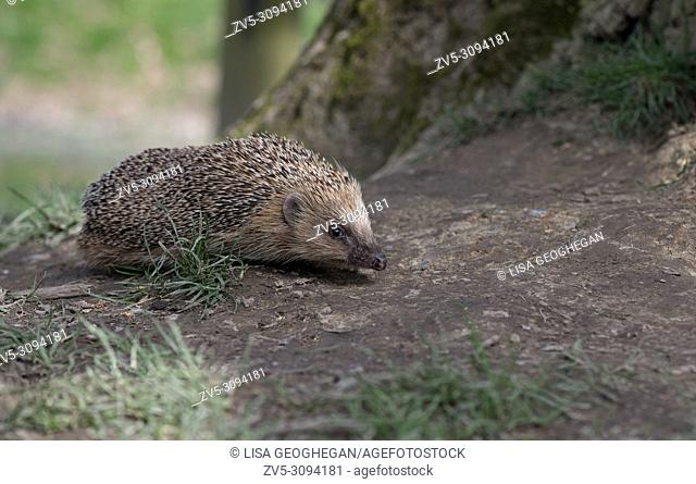 Hedgehog-Erinaceus europaeus. Uk