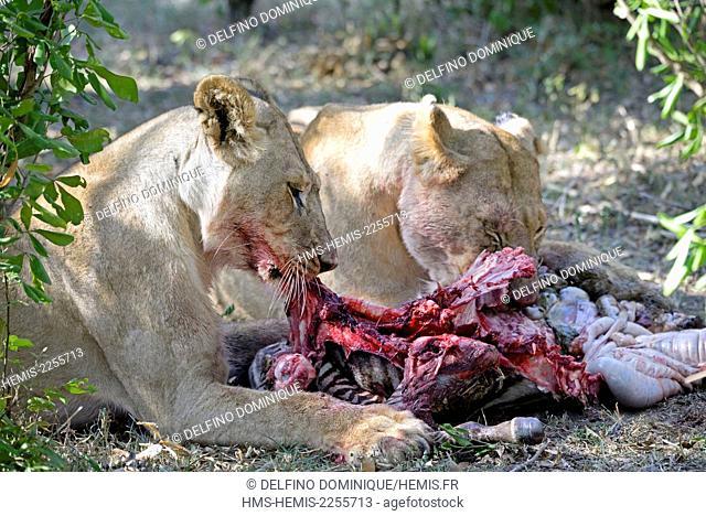 Kenya, Masai Mara Reserve, Lion (Panthera leo) eating a zebra Young Lions