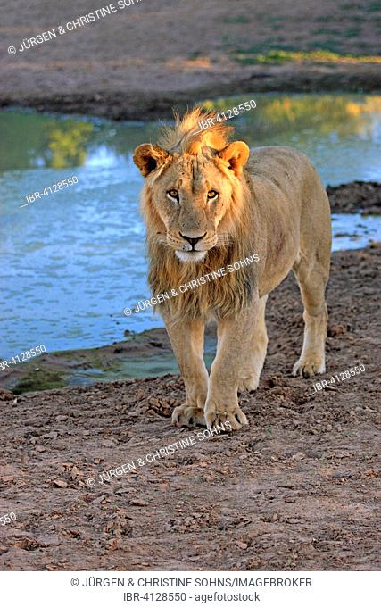 Lion (Panthera leo), male, five years, at the water, Tswalu Game Reserve, Kalahari Desert, North Cape, South Africa