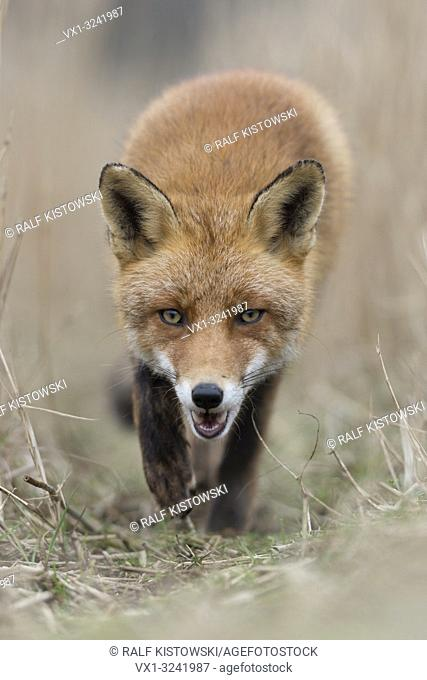 Red Fox / Rotfuchs ( Vulpes vulpes ) walking along a fox path through high, dry reed grass, low point of view, frontal shot, open jaw, wildlife, Europe