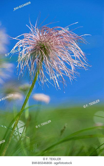 Alpine anemone (Pulsatilla alpina ssp. alpina, Pulsatilla alpina), fruiting, Switzerland, Schynige Platte