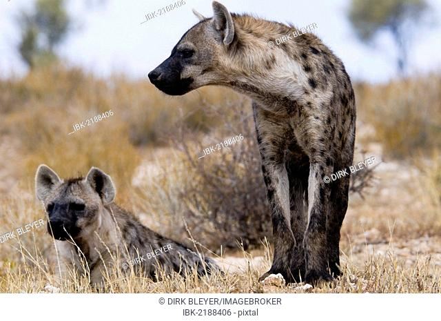 Spotted Hyenas (Crocuta crocuta), Kgalagadi Transfrontier Park, Kalahari Desert, Northern Cape, South Africa, Africa