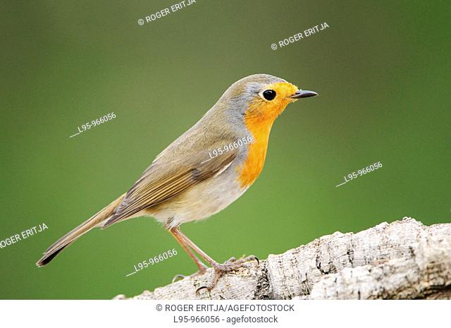 European Robin Erithacus rubecula on pine forest green background
