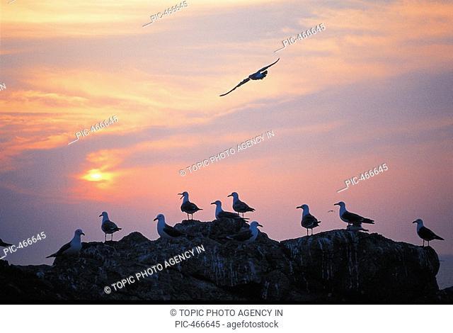 Seagulls,Korea
