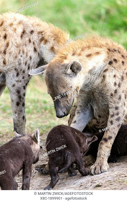 Spotted Hyena Crocuta crocuta also called Laughing Hyena, in the Maasa Mara  Family or Clan with several cubs close to their den  Africa, East Africa, Kenya