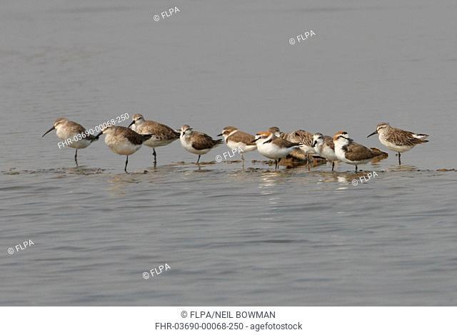 Curlew Sandpiper Calidris ferruginea, Red-necked Stint Calidris ruficollis, Kentish Plover Charadrius alexandrinus, Spoon-billed Sandpiper Calidris pygmeus and...