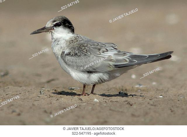 Little Tern, Sterna albifrons, Marjal del Moro, Valencia, Comunidad Valenciana. Spain