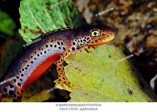 Alpine newt (Triturus alpestris). Mountain range of Ancares. Lugo. Galicia. Spain. Europe