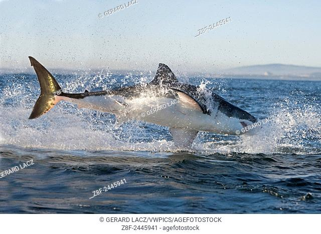 GREAT WHITE SHARK carcharodon carcharias, ADULT BREACHING, FALSE BAY IN SOUTH AFRICA