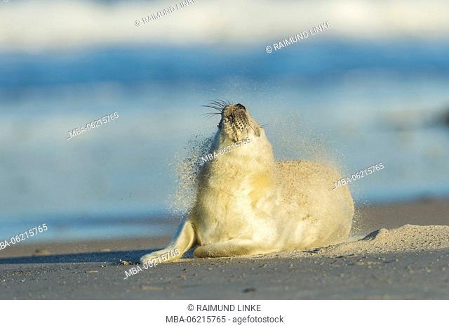 Grey Seal, Halichoerus grypus, Pup After Sandstorm Shakes, Europe