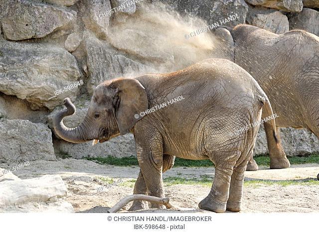 African Elephant (Loxodonta africana) calf, Schoenbrunn Zoo, Vienna, Austria, Europe