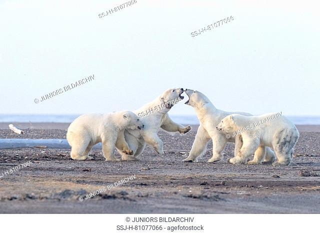 Polar Bear (Ursus maritimus, Thalarctos maritimus). Meeting between mothers with cubs, along a barrier island outside Kaktovik, Alaska