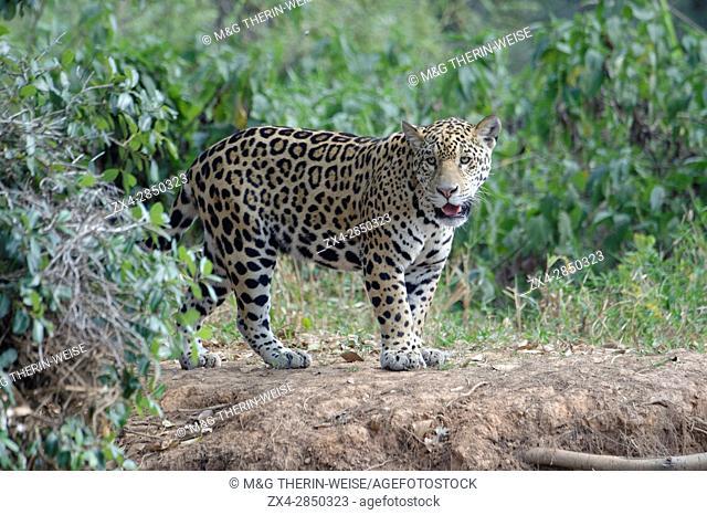 Young jaguar (Panthera onca) on riverbank, Cuiaba river, Pantanal, Mato Grosso State, Brazil